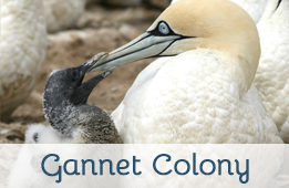 Visit the Gannet Colony